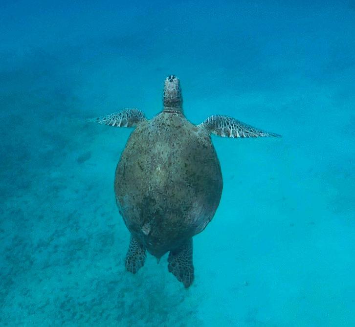 Una tartaruga alle isole Perhentian risale in superficie per respirare dopo il tempo subacqueo